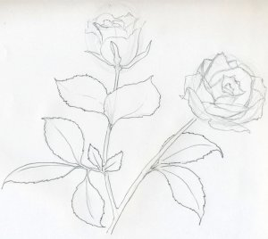 rose sketch drawings easy sketches draw detailed center