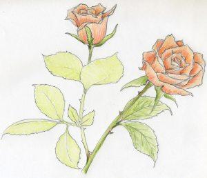 sketch rose roses drawing drawings sketches easy simple flower stem draw coloring let enjoy basic enlarge getdrawings paintingvalley cook