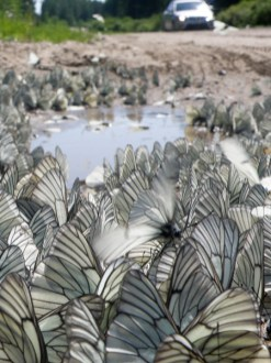 Valtava määrä perhosia parveili tien varrella
