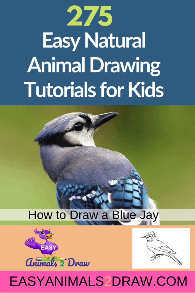 Pinterest image how to draw a Blue Jay