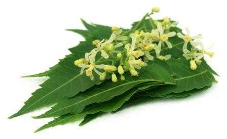 Neem: Benefits, Ayurveda Usage, Side Effects, Research