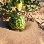 Colocynth: Citrullus colocynthis Uses, Dosage, Side Effects