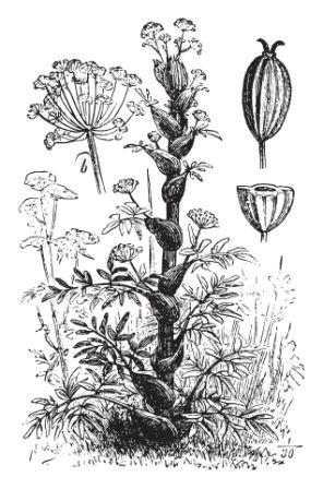 Ferula asafoetida plant flowers