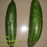 Pointed Gourd Health Benefits, Usage – Ayurveda Details