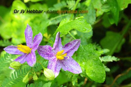 Brihati - Solanum indicum flower copy