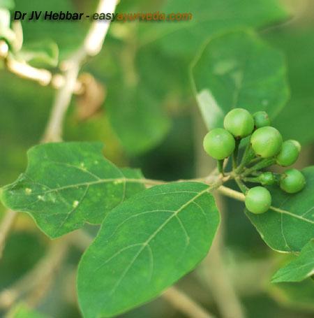 Brihati - Solanum indicum - leaves and fruit