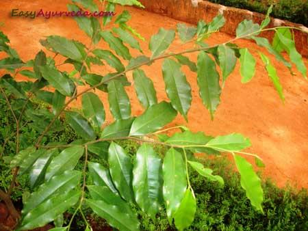 Agaru (Agarwood) Aquilaria agallocha Uses, Research, Side
