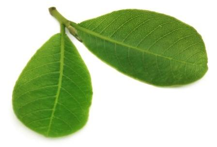 Terminalia arjuna Benefits, How To Use, Research, Side