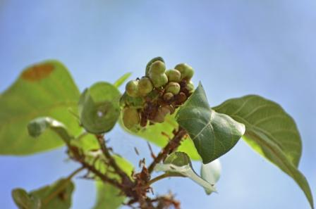 Udumbar Ficus Racemosa Uses Research Side Effects