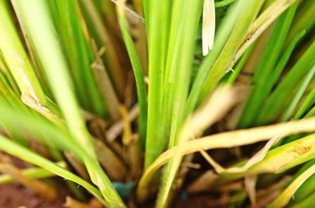 Cus Cus grass