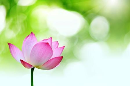 Lotus Nelumbo Nucifera Benefits Side Effects Research
