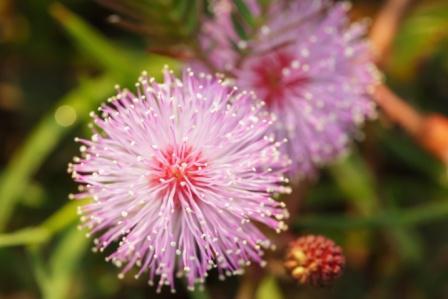 Mimosa pudioca inflorescense
