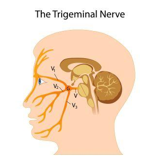 trigeminal nerve branches