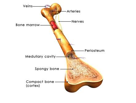 bone anatomy femur