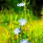 Chicory Cichorium intybus: Benefits, Remedies, Research, Side Effects
