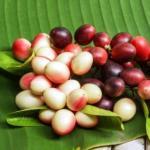 Karonda Carissa carandas: Benefits, Remedies, Research, Side Effects