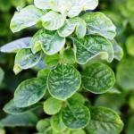 Gorakshaganja Aerva lanata Uses, Adverse effects, Research