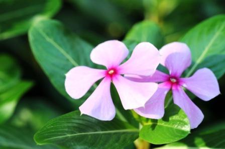 Sadabahar - Vinca Rosea Home Remedies, Health Benefits