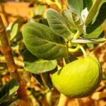 Madar plant-Arka Home Remedies: Joint Pain, Asthma, Cough