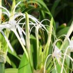 Spider Lily (Crinum asiaticum) Uses, Research, Remedies, Medicines