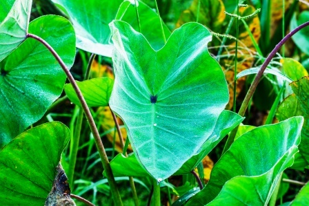 giant taro petiole extract as molluscide Assay of combined extracts against giant earthworm also showed significant   keywords: organic pesticide, molluscicide, vermicide, golden apple snail, giant.