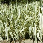 Giant Reed Arundo donax Uses, Research, Remedies, Side Effects