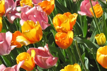 Beautiful Bulbs for Fall Planting & Spring Blooming