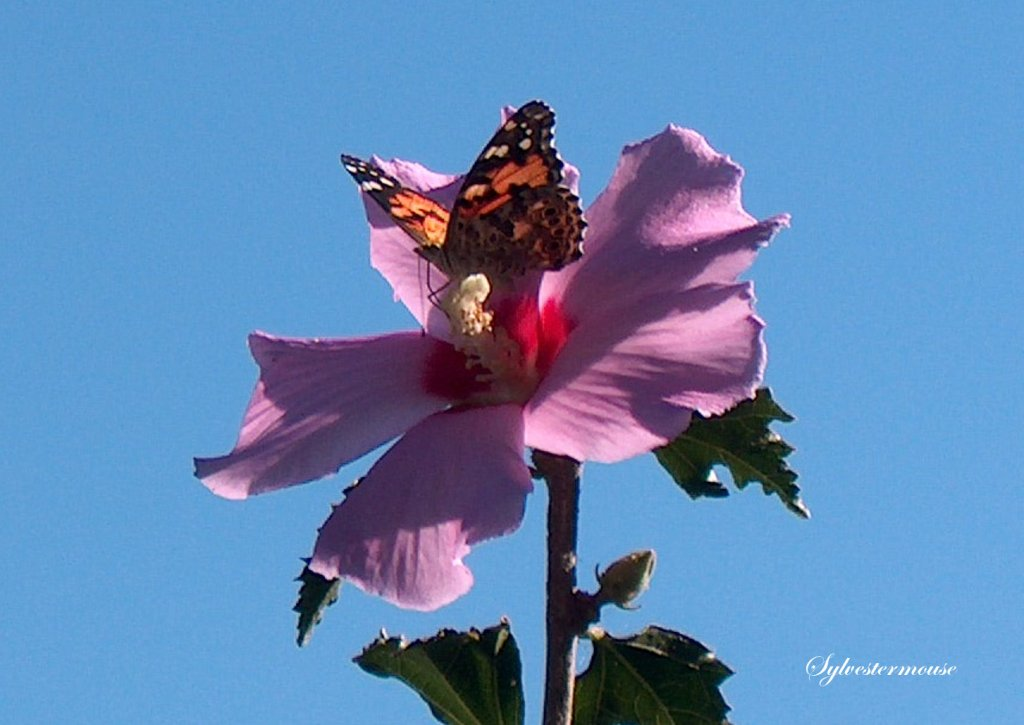 Rose of Sharon and Butterfly Photo by Sylvestermouse