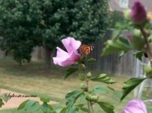 Rose of Sharon and Monarch Butterfly Photo by Sylvestermouse