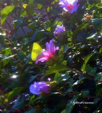 Rose of Sharon Bush photo by Sylvestermouse