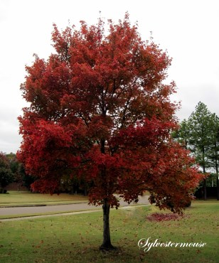 Red Maple Tree Photo by Sylvestermouse