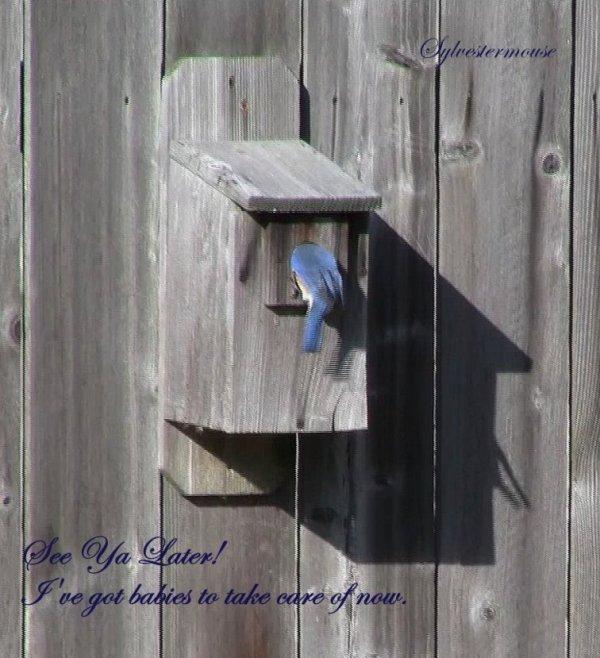 Bluebirds Bird Houses