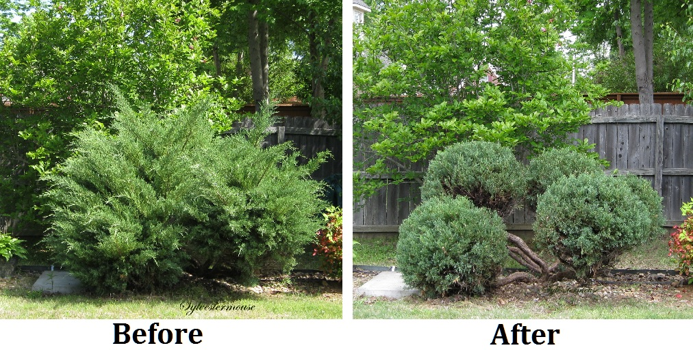 Juniper Bush trimming - hedge trimmer