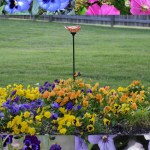 How to Plant and Care for Pansy Flowers (Pansies)