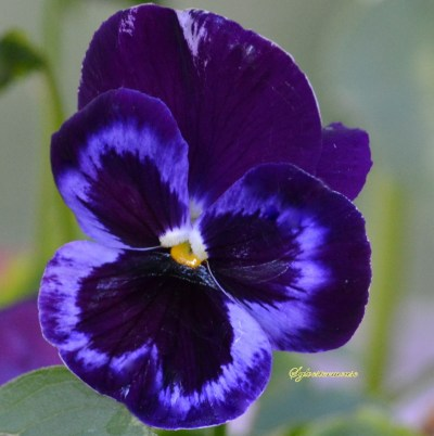 Pansy Flower Photo by Sylvestermouse