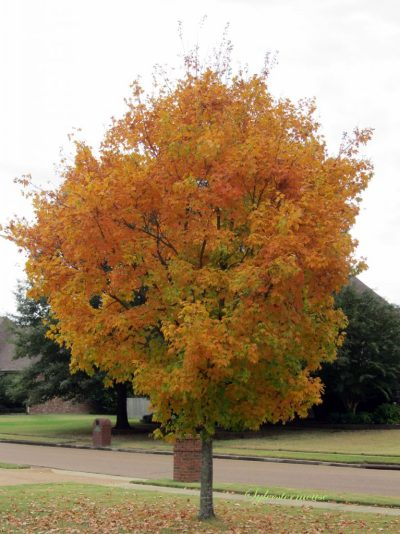 Yellow Sugar Maple Tree