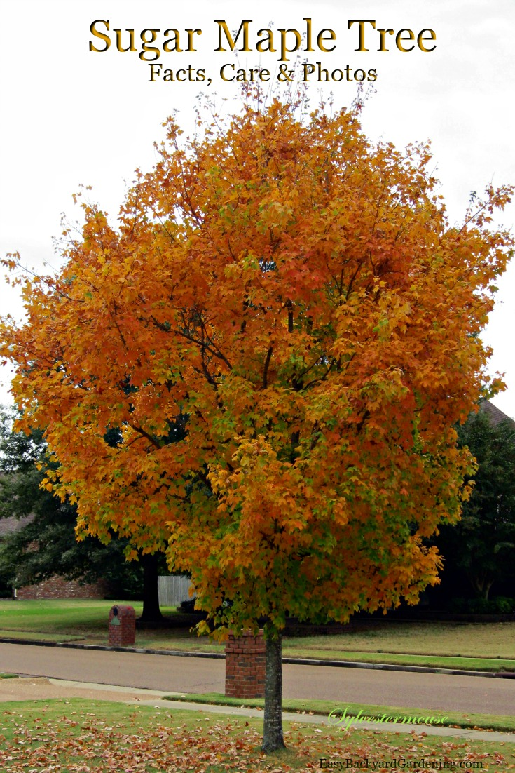 The Glorious Appearance of the Sugar Maple Tree - Easy ... | 735 x 1102 jpeg 268kB