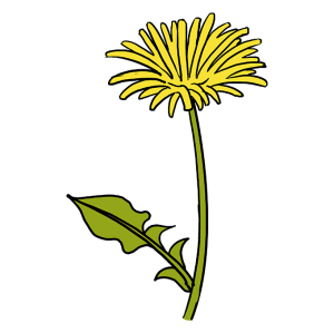 dandelion draw drawing blowing wind yellow easy flowers clipartmag leaves stems