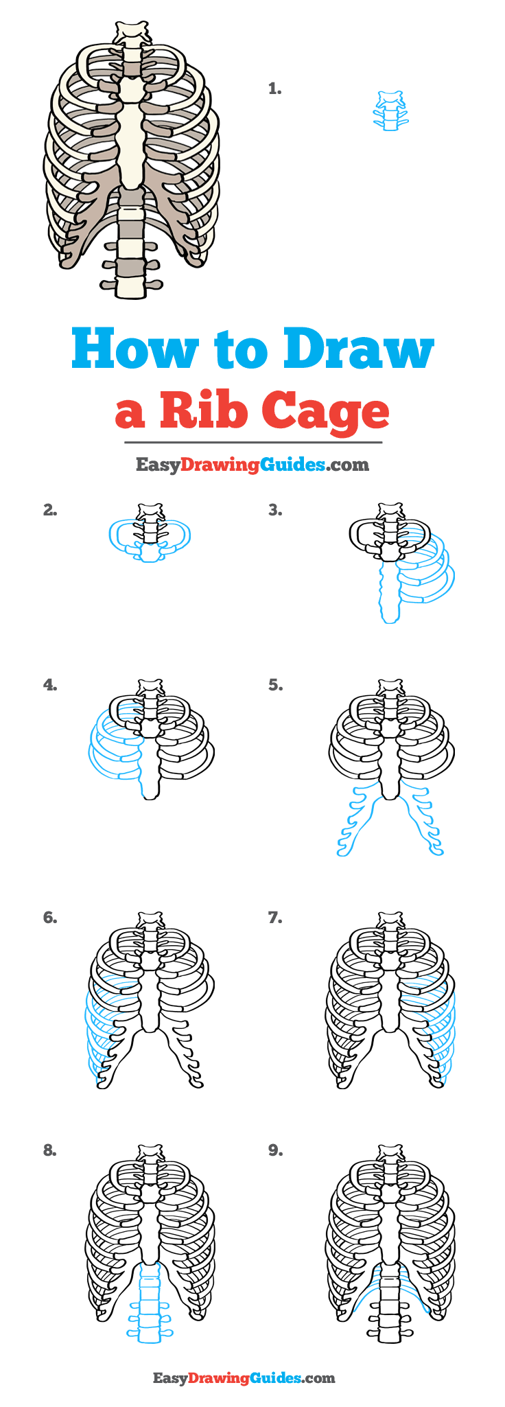 Rib Cage Drawing Simple : drawing, simple, Really, Drawing, Tutorial