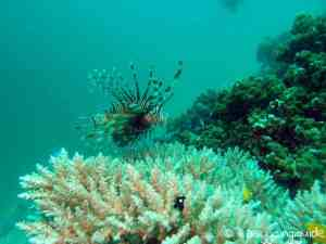 lionfish_thailand_diving