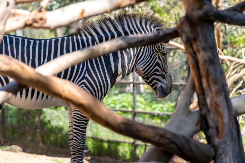 American family vacation - San Diego Zoo zebra