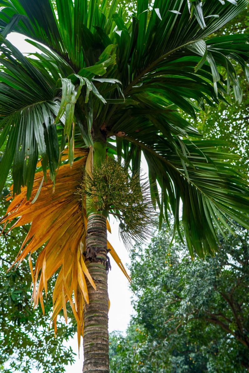 Hanoi - palm tree