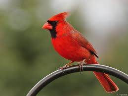 Image result for cardinal