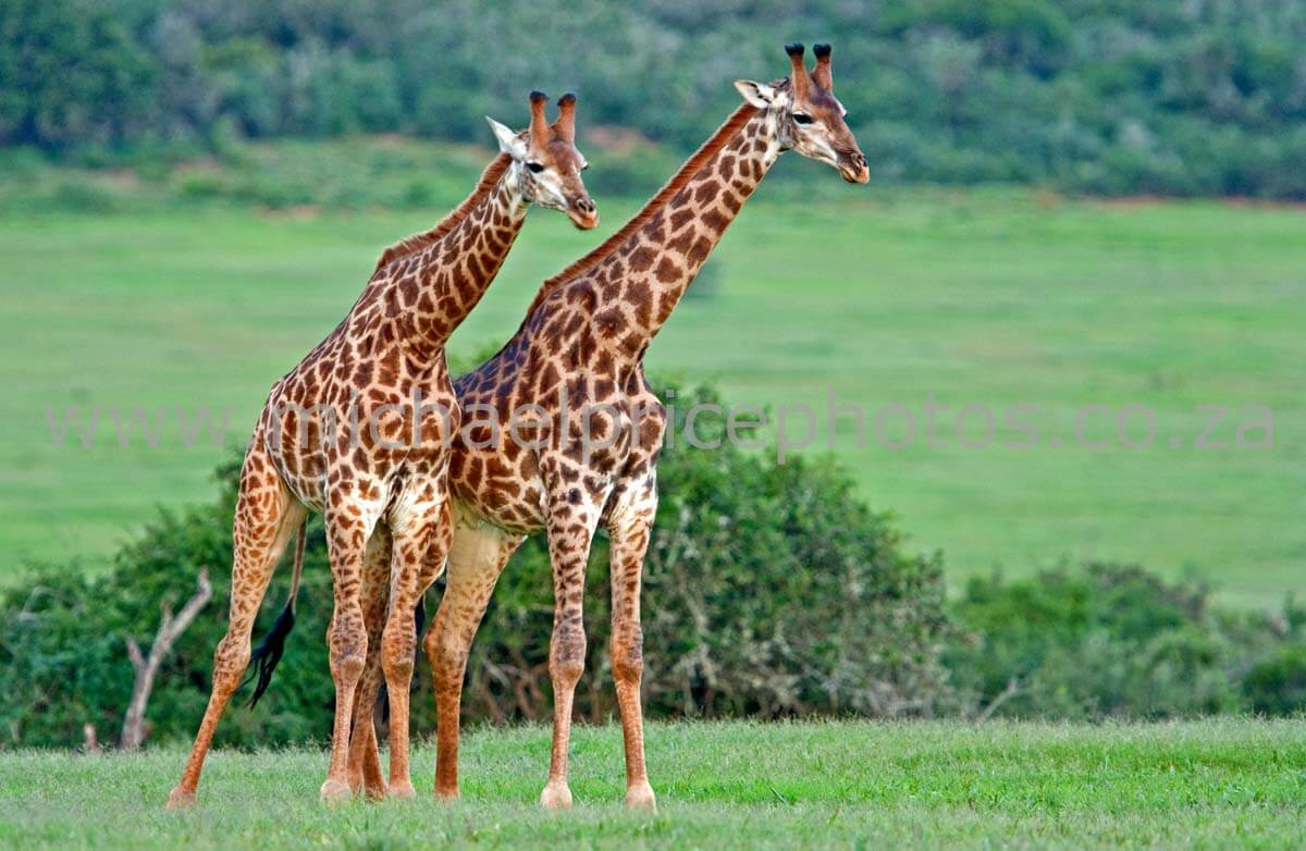 All About Giraffes For Kids Archives Facts