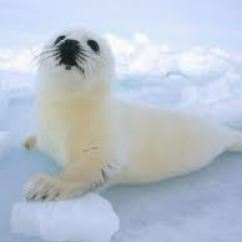 Harp Seal Life Cycle Diagram Worcester System Boiler Wiring Fun Facts For Kids White Baby In The Arctic Image Science All About Seals