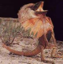 frilled lizards facts for