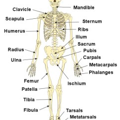 Human Skull Bones Diagram Labeled 2001 Chevy Malibu Car Stereo Wiring Bone And Skeleton Fun Facts For Kids Parts Of The Image Science All About