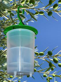 Le piège à mouche de l'olivier