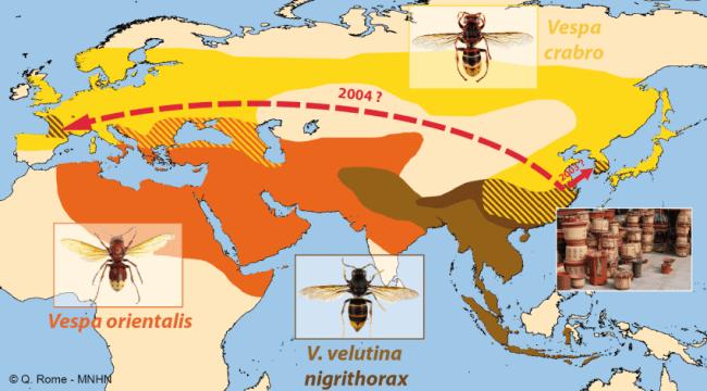 Carte des dommages du bourdon asiatique