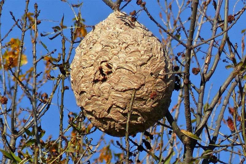 le frelon asiatique en hiver